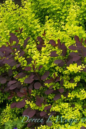 Cotinus coggygria 'Royal Purple' - Berberis thunbergii 'Aurea'_8581