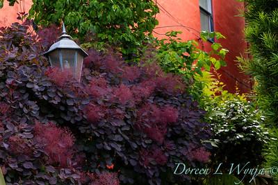 Cotinus coggygria 'Royal Purple' - lamp post_0258