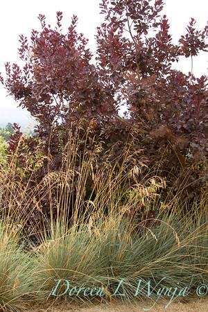 Cotinus coggygria Royal Purple Helictotrichon sempervirens_003