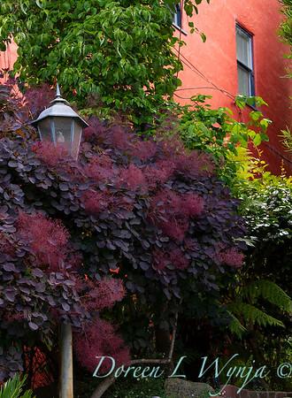 Cotinus coggygria 'Royal Purple' - lamp post_0257
