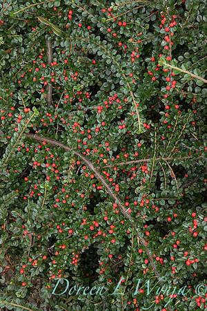 Cotoneaster horizontalis 'Perpusillus'_2683