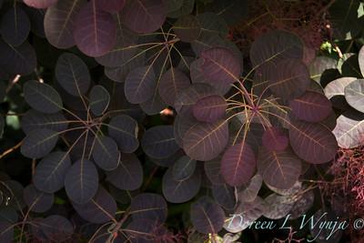Cotinus coggygria 'Royal Purple'_143