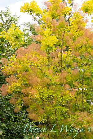 Cotinus coggygria Golden Spirit_8382