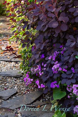 Cotinus 'Royal Purple' - Pericallis x hybrida garden path_1740