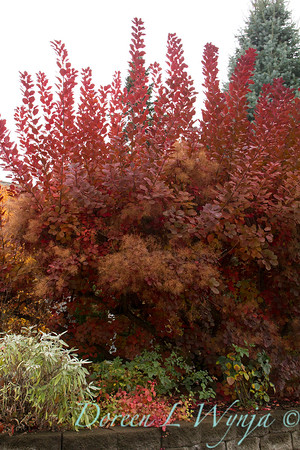 Cotinus coggygria Grace - fall color_7080