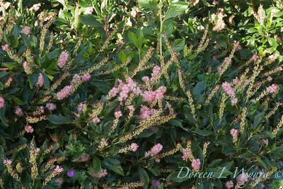 Clethra alnifolia Ruby Spice_0059