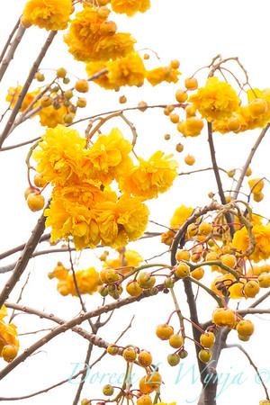 Cochlospermum regium_1145