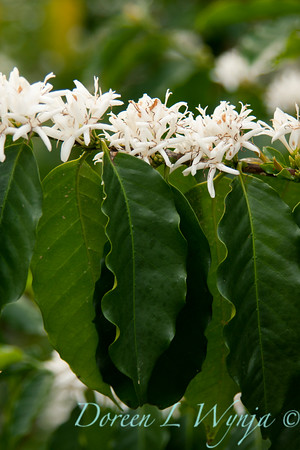 Coffea Arabica_038