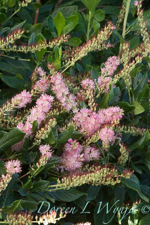 Clethra alnifolia Ruby Spice_0058