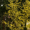 Cornus mas Golden Glory_020