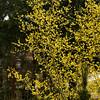 Cornus mas Golden Glory_020
