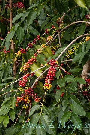 Coffea arabica_083
