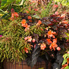 Coleus Hipsters 'Zooey' - Begonia 'Enchantesd Sunrise' container planting_2174