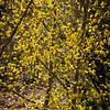 Cornus mas Golden Glory_024