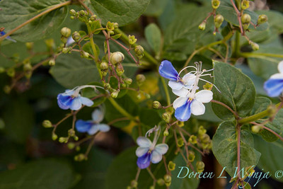 Clerodendrum Blue Glorybower_001