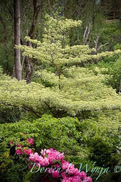 Cornus alternifolia Argentea - Rhododendron_005