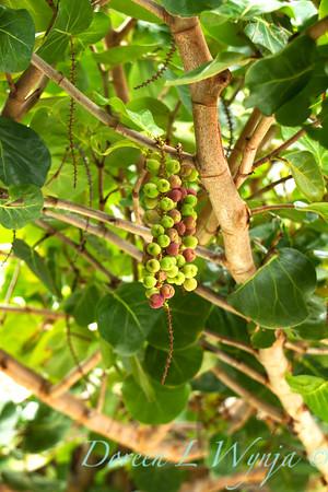 Coccoloba uvifera_004