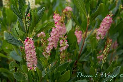 Clethra alnifolia 'Ruby Spice'_2171
