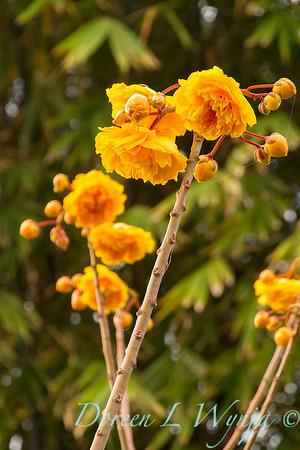 Cochlospermum regium_9594