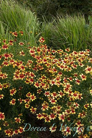5826 Coreopsis verticillata 'Route 66' Cruizin' Route 66 _0157
