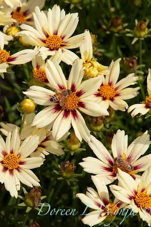 4085 Coreopsis 'Starlight'_435