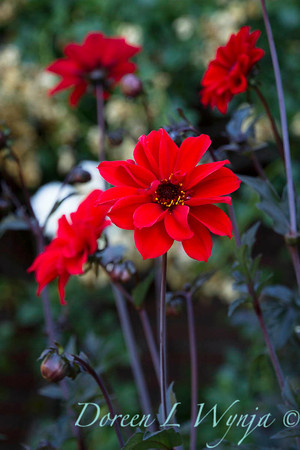 Dahlia coccinea 'Bishop of Llandaff'_3550_Doreen Wynja