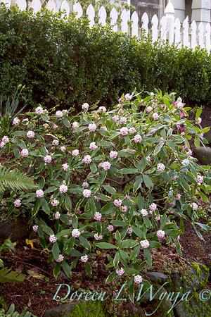 Daphne odorata Aureo marginata_039