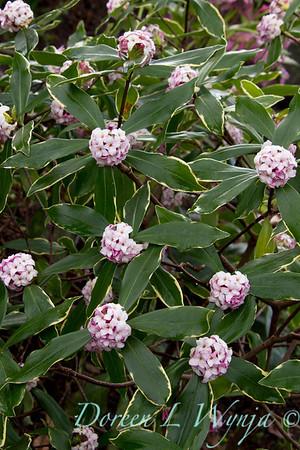 Daphne odorata Aureo marginata_033