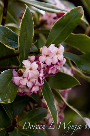 Daphne odorata Aureo marginata_043
