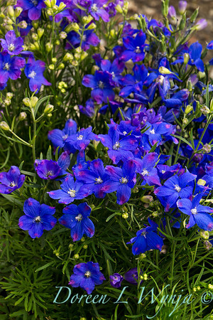 Delphinium grandiflorum Blue Mirror_004.jpg