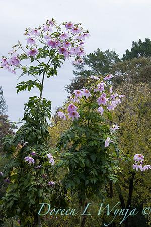 Dahlia imperialis_1815