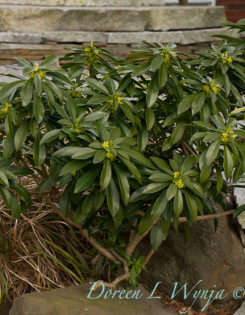 Daphne laureola flowering_7856