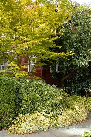 Daphne odora 'Aureo-marginata' - Hakonechloa macra 'Aureola' - Acer palmatum 'Sango Kaku'_7532