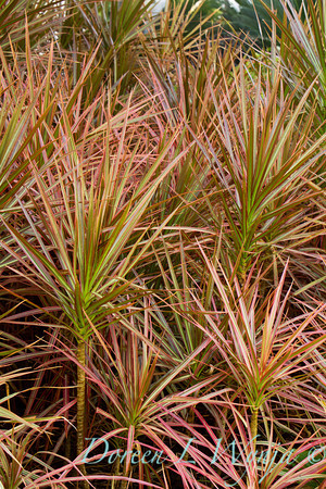 Dracaena marginata Tricolor_029