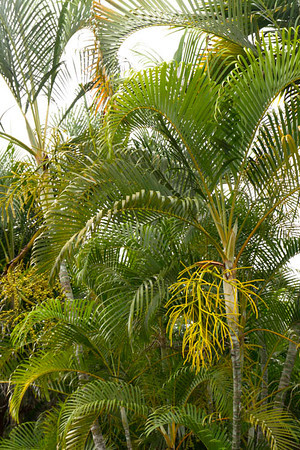 Dypsis lutescens_058