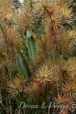 Dracaena marginata Tricolor_0175
