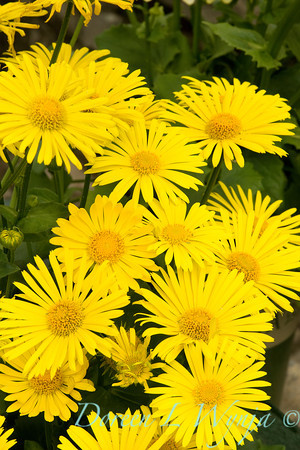 Doronicum orientale Little Leo_002