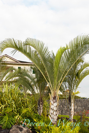 Dypsis decaryi_021