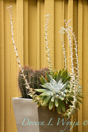 Dudleya anthonyi_004