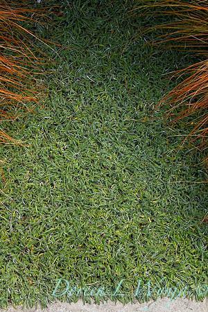 Dymondia margaretae groundcover_1730