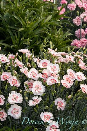 Dianthus x Georgia Peach_2764.jpg