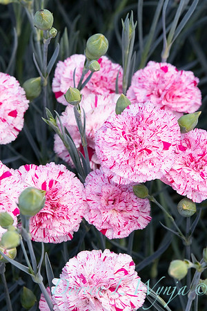 42066 Dianthus x 'Wp15 Mow08' Devon Cottage Pinball Wizard_6975