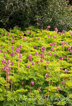 Dicentra Luxuriant_001