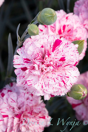 42066 Dianthus x 'Wp15 Mow08' Devon Cottage Pinball Wizard_6982