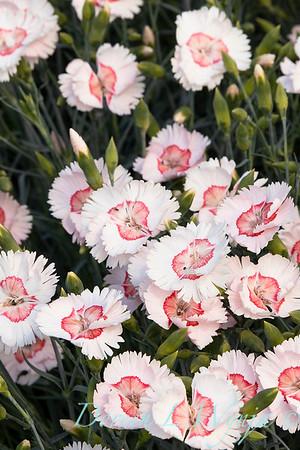 Dianthus x Georgia Peach_2762.jpg