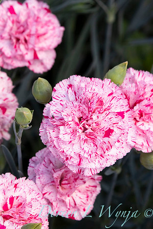 42066 Dianthus x 'Wp15 Mow08' Devon Cottage Pinball Wizard_6979