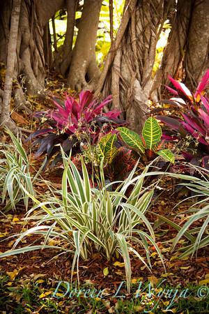 Dianella tasmanica Variegata_002M