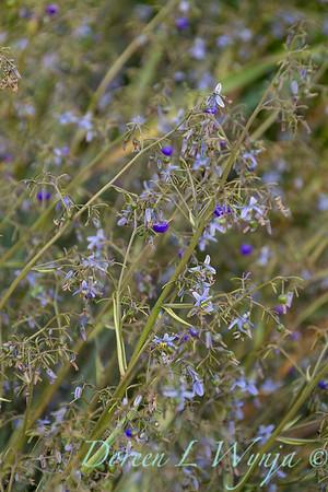 Dianella caerulea 'DBB03' Cassa Blue_1401