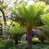 Dicksonia antarctica_035M