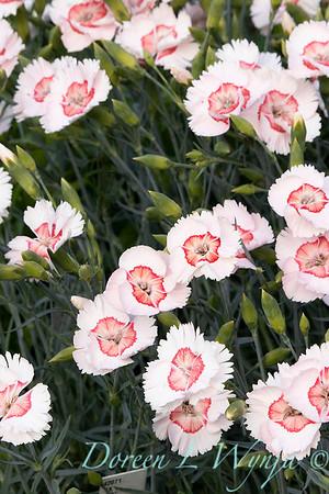 Dianthus x Georgia Peach_2757.jpg